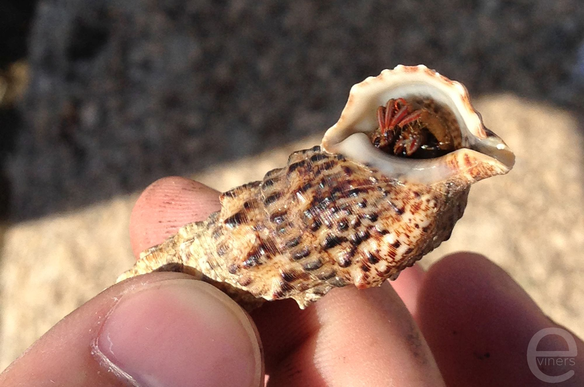 Crab Hiding in a Shell