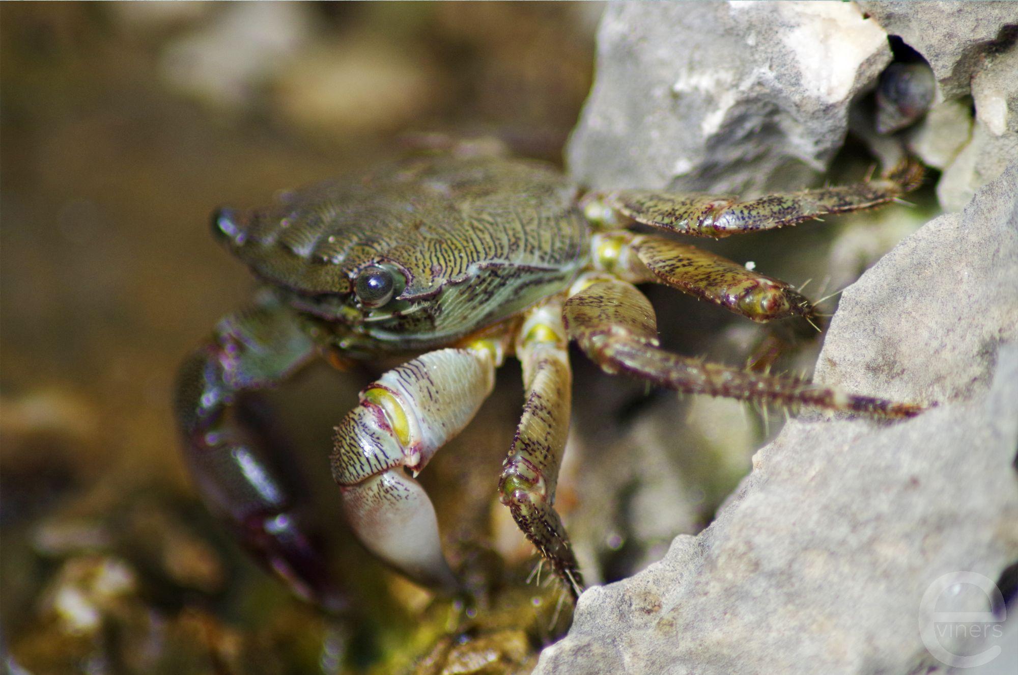 Crab on the Rocks